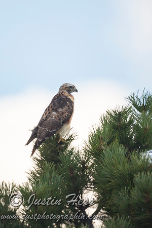 Red-tailed Hawk 08-17-2017