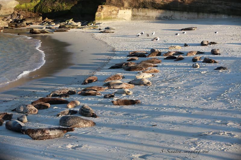 La Jolla Harbor seals 261 copy.jpg
