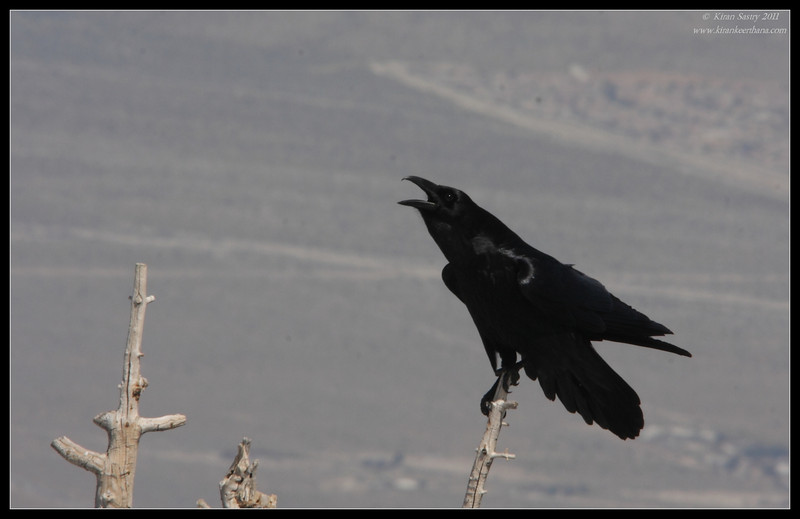 Common Raven, Mt. San Jacinto State Park, Palm Springs, California, March 2011