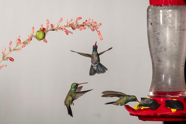 Arizona Hummingbirds (near Tucson)
