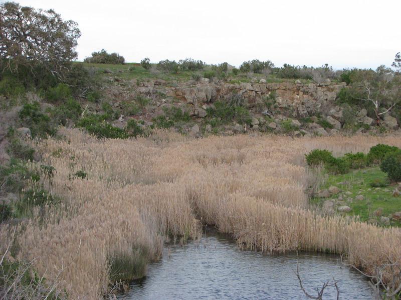 Phragmites australis / Common Reed