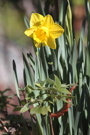 First daffodils of spring - 2014