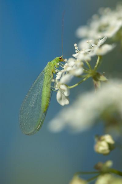 Nettvinger (Neuroptera)