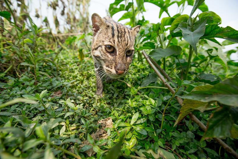 Fishing Cat (Prionailurus viverrinus) Bangladesh. Remote camera
