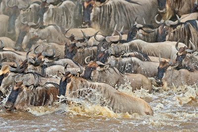 """""""River crossing during the annual migration in Masai Mara"""""""