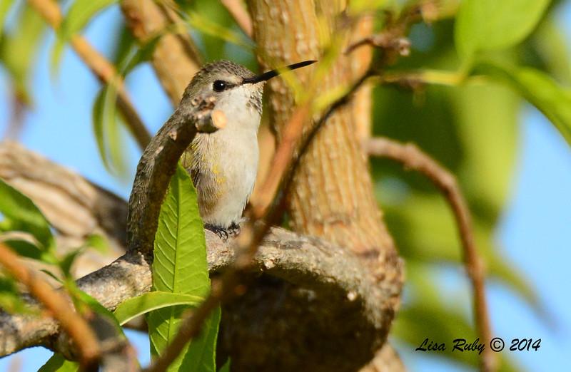 Female Costa's Hummingbird - 11/23/2014 - Backyard, Sabre Springs
