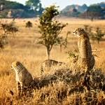Tanzania-cheetahs-on-mound-300x214.jpg