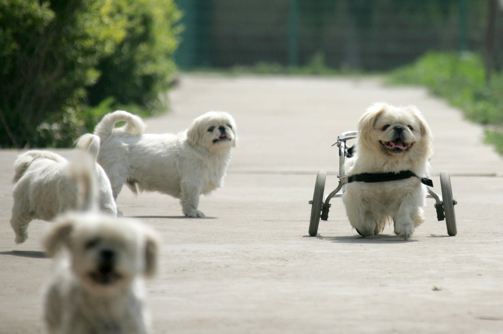 . Abandoned dogs, one wearing a device that aids walking, play at Beijing\'s Human and Animal Environmental Education Center, a shelter for homeless animals on June 26, 2006. At present, the center houses about 500 animals and many of them - all abandoned - are either old, weak, sick or disabled. REUTERS/Jason Lee