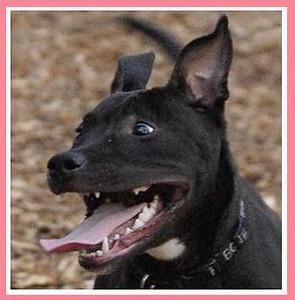 SHADOW (pitbull pup)