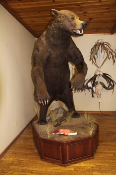 Life-size Alaska Brown Bear Mount Anderson Taxidermy & Guide Service, Inc.  www.THEHUNTPRO.com