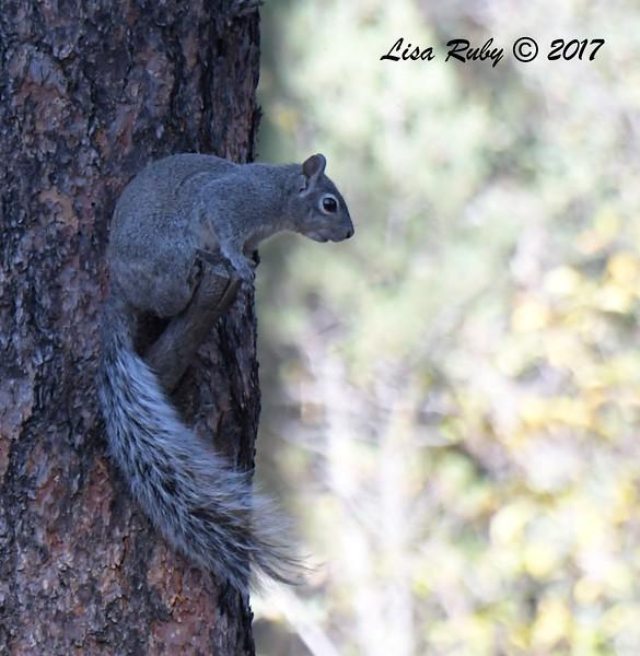 Tree squirrel (gray?) - 10/16/2017 - Wickwood Lane, Prescott, Arizona