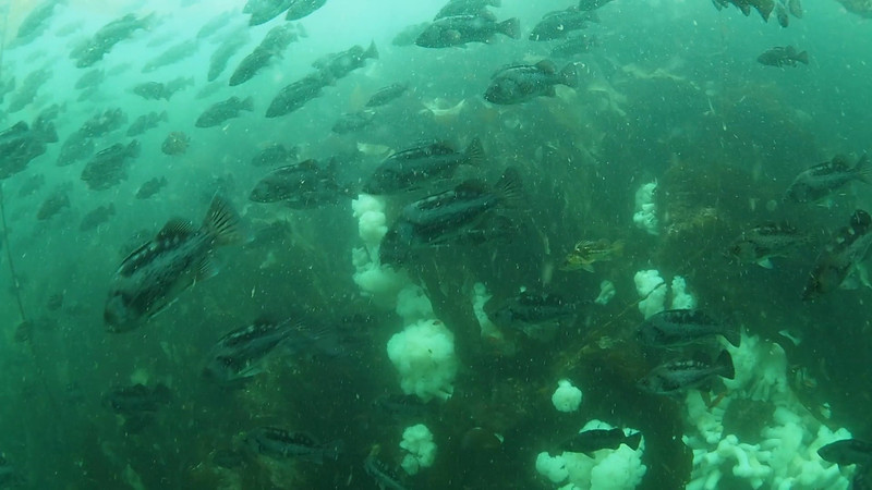 Black Rockfish schooling in the current. Olympus E-M5 video, Keystone Jetty, Whidbey Island, August 21, 2012.