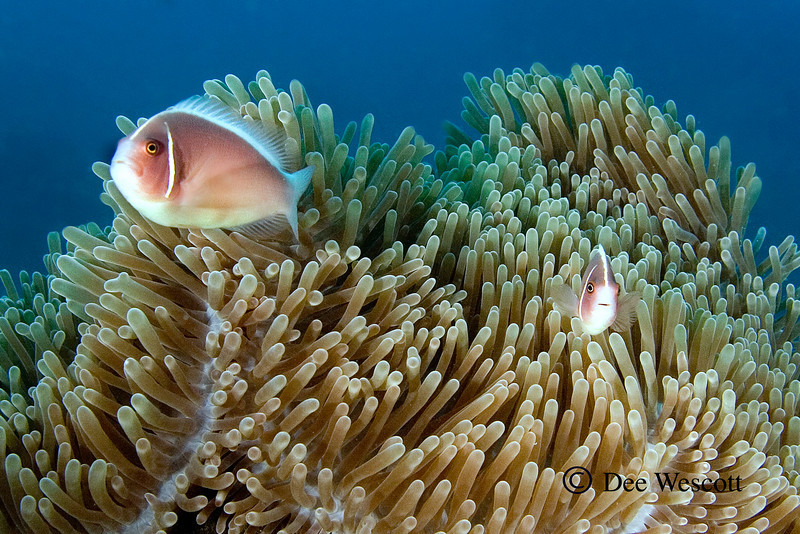 Pink Anenome Fish 3.jpg