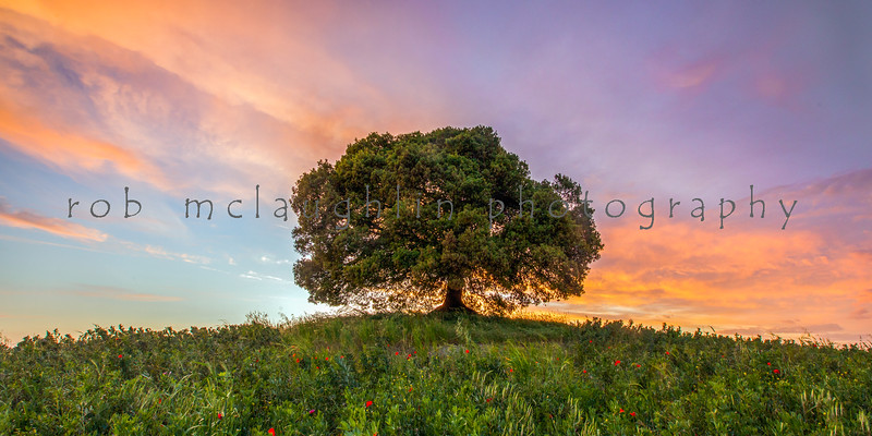Lone Tree at Dusk , near San Giovanni D'asso , Tuscany