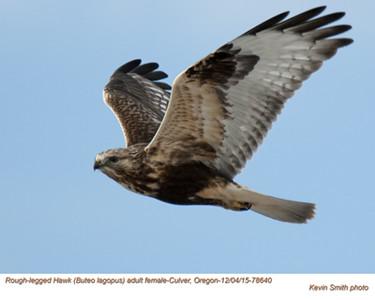Rough Legged Hawk F78640.jpg