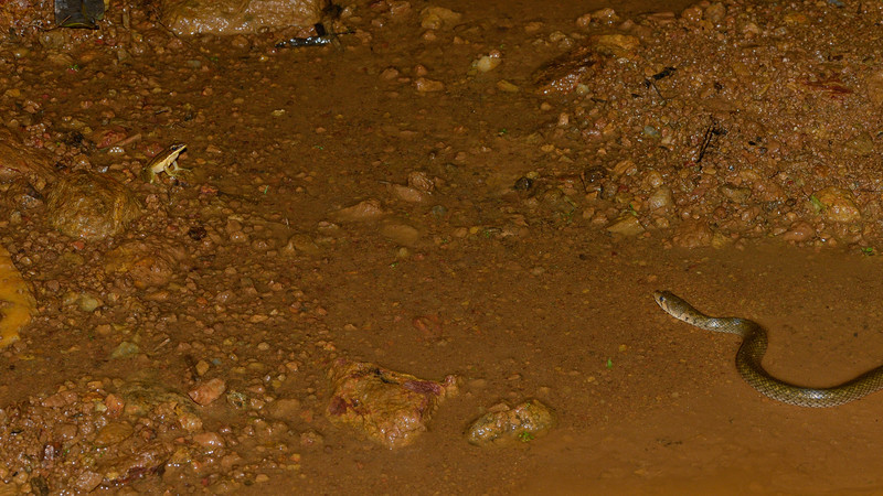 Checkered-keelback-on-the-hunt-golden-frog-agumbe.jpg