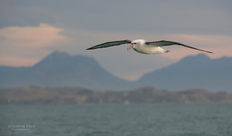 Shy Albatross, Kaikoura, SI, NZ, Jan 2013.jpg