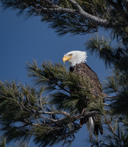 Eagle profile in tree