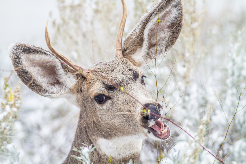 Mule Deer buck Theodore Roosevelt National Park Medora ND  IMG_1769.jpg