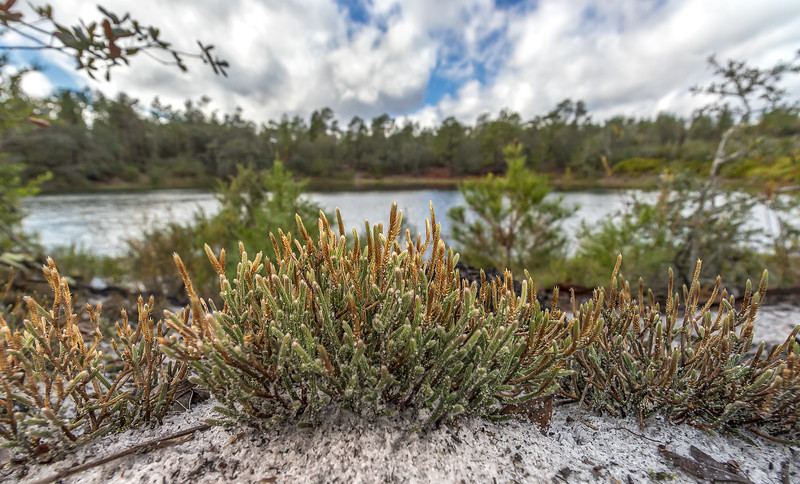 Sand spike-moss overlooking an upland lake in north Florida