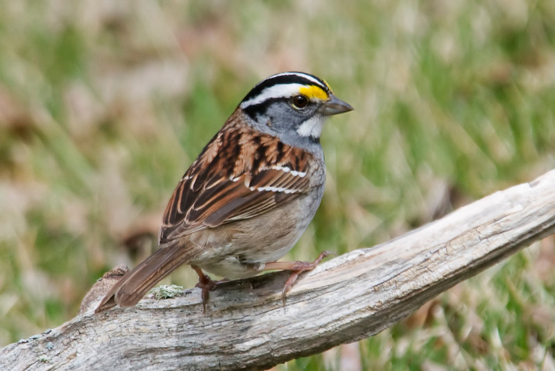 Sparrow - White-throated - Dunning Lake, MN - 01