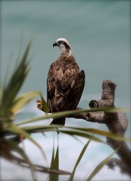 Eastern osprey, Coolum, Australia