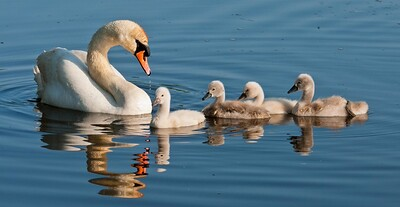 0010 - Swans 6-6-11-650-Edit