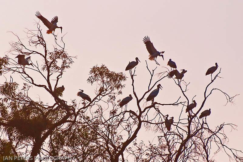 Stork Dawn - Ian Peters.jpg