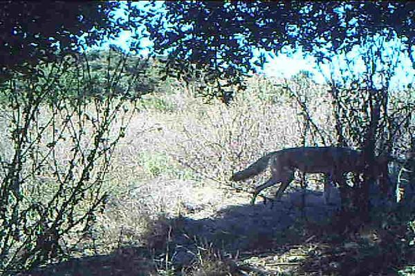 Coyote 731.AVI