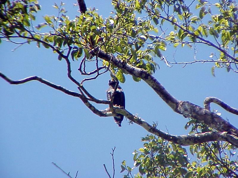 Mangrove Black-Hawk at Rancho la Merced Costa Rica 2-17-03 (50898181)