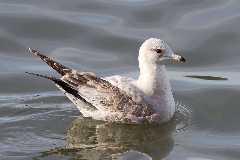 Mew Gull - Juvenile - Note the really long primaries