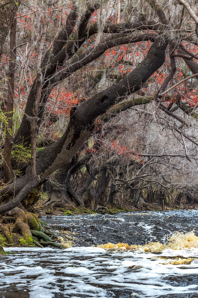 Suwannee River rapids and budding red maple trees at Big Shoals State Park
