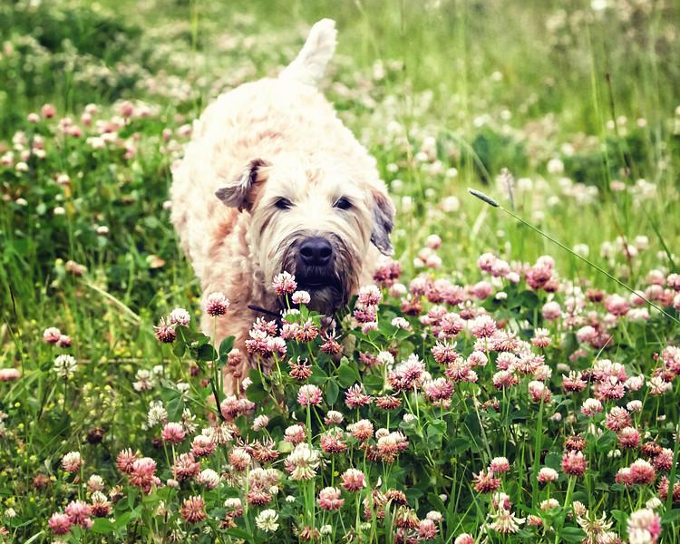 Olive-pinkflowers-AF2A0527_.jpg