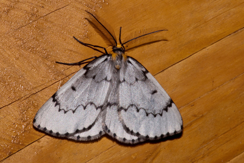 Geometer - Chain-dotted - (Cingilia catenaria) - Dunning Lake - Itasca County, MN