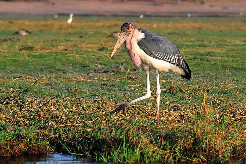 EPV0455 Marabou Stork
