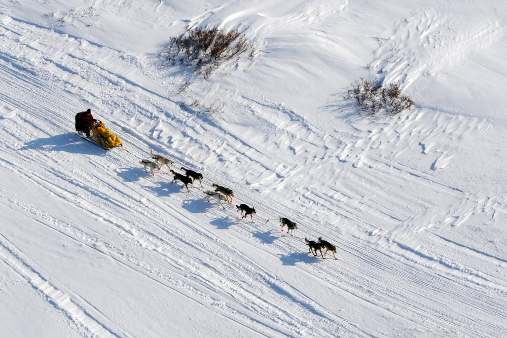 . Mitch Seavey drives his dog team towards the burled arch in Nome, Alaska, Tuesday, March 12, 2013, during the Iditarod Trail Sled Dog Race. (AP Photo/The Anchorage Daily News, Bill Roth)