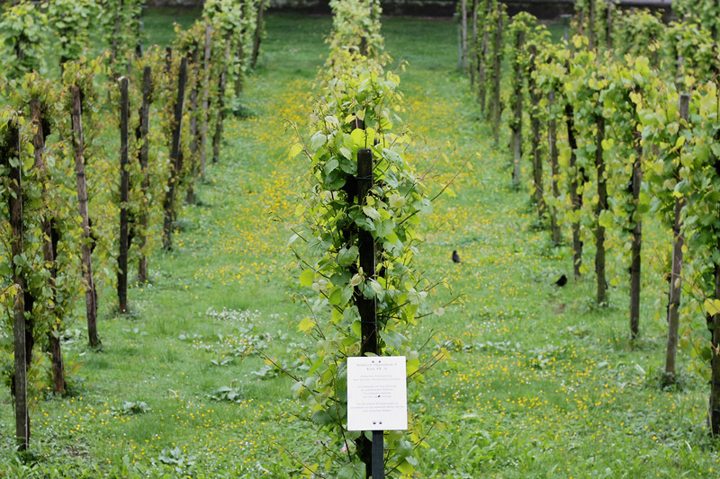 The vineyard on the grounds of the Colombi Palace in Freiburg