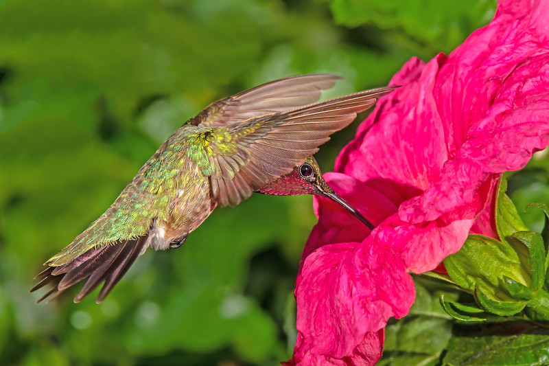 Ruby Throated Hummingbird in the Hibiscus