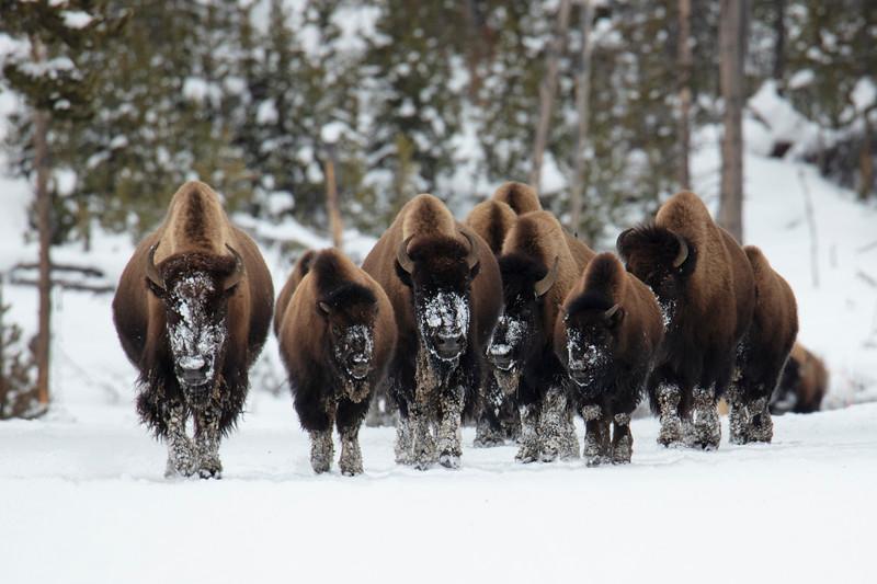 387A9940 Bison herd coming down road.jpg