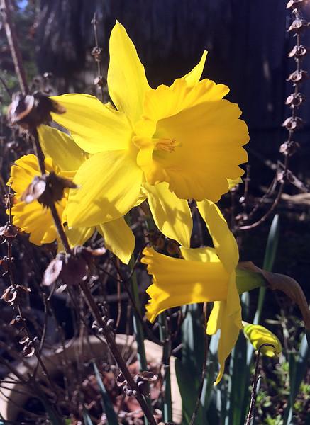 sunny daffodil.jpg