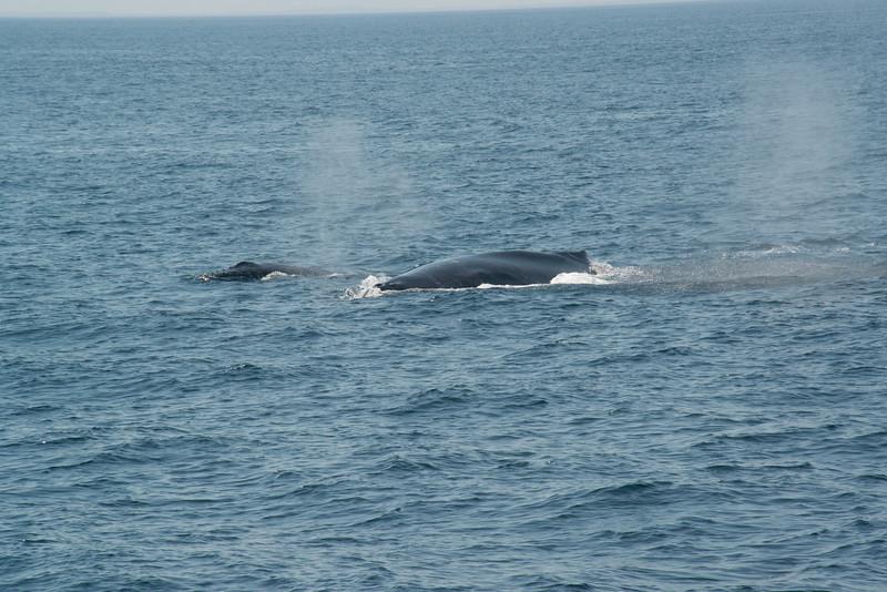humpbacks-4167.jpg