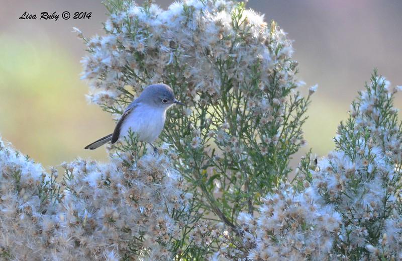 Blue-gray Gnatcatcher - 12/24/2014 - Highland Valley Coast to Crest Trail