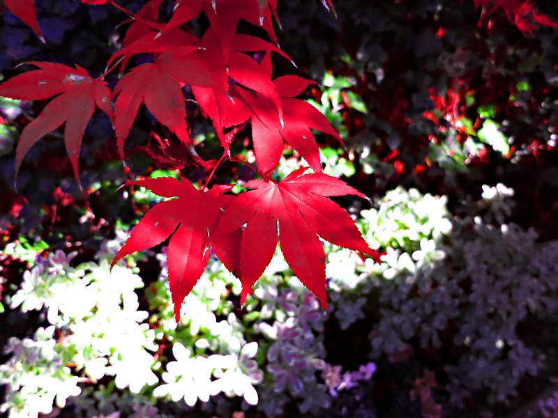 red leaves 0123.jpg