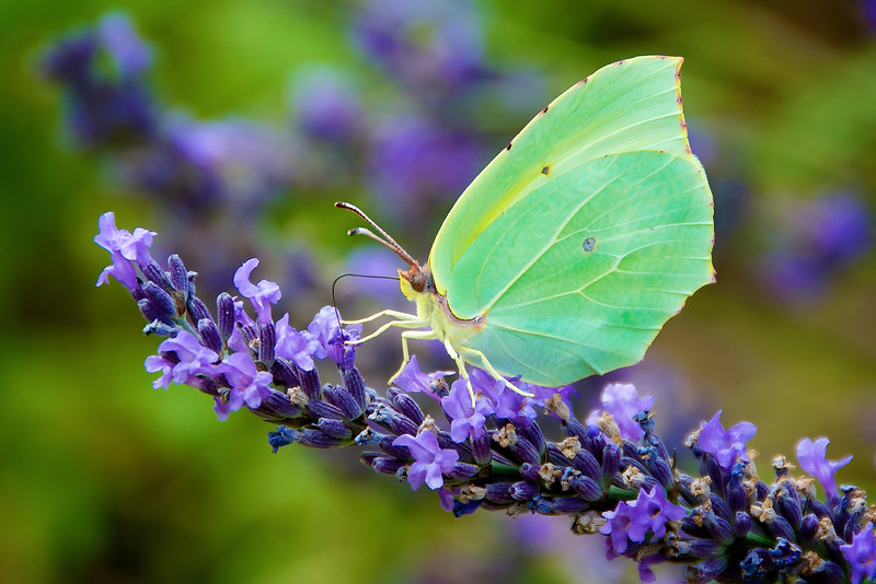 Small green butterfly on lavender blooms in the South of France. www.rajguptaphotography.com