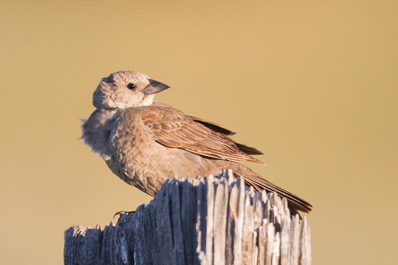 Brown-headed Cowbird - Sierra Valley, CA, USA