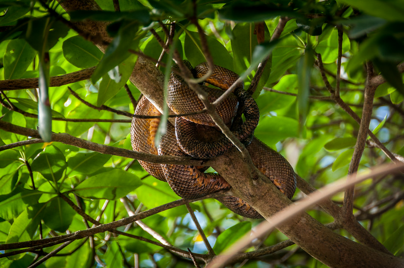Snake wrapped around a tree branch in Trinidad