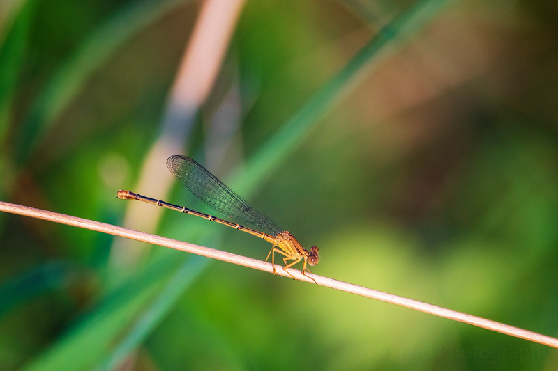 8.23.20 - Beaver Lake Nursery - Orange Meadowhawk