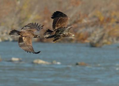 American Bald Eagle 2006/2007