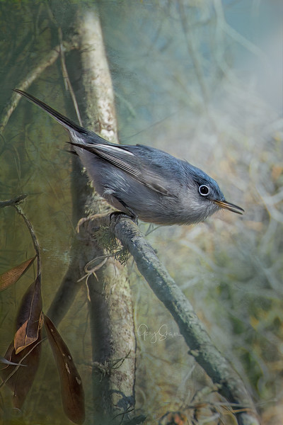 Blue Gray Gnatcatcher 02 WS.jpg