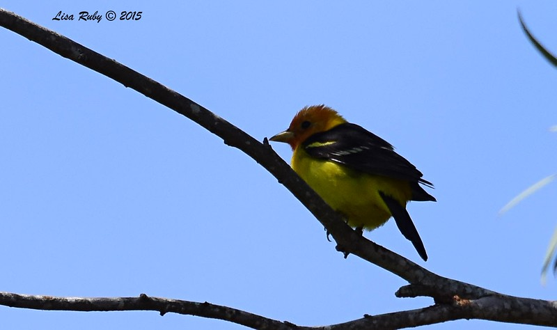Western Tanager - 5/10/2015 - Fort Rosecrans National Cemetery